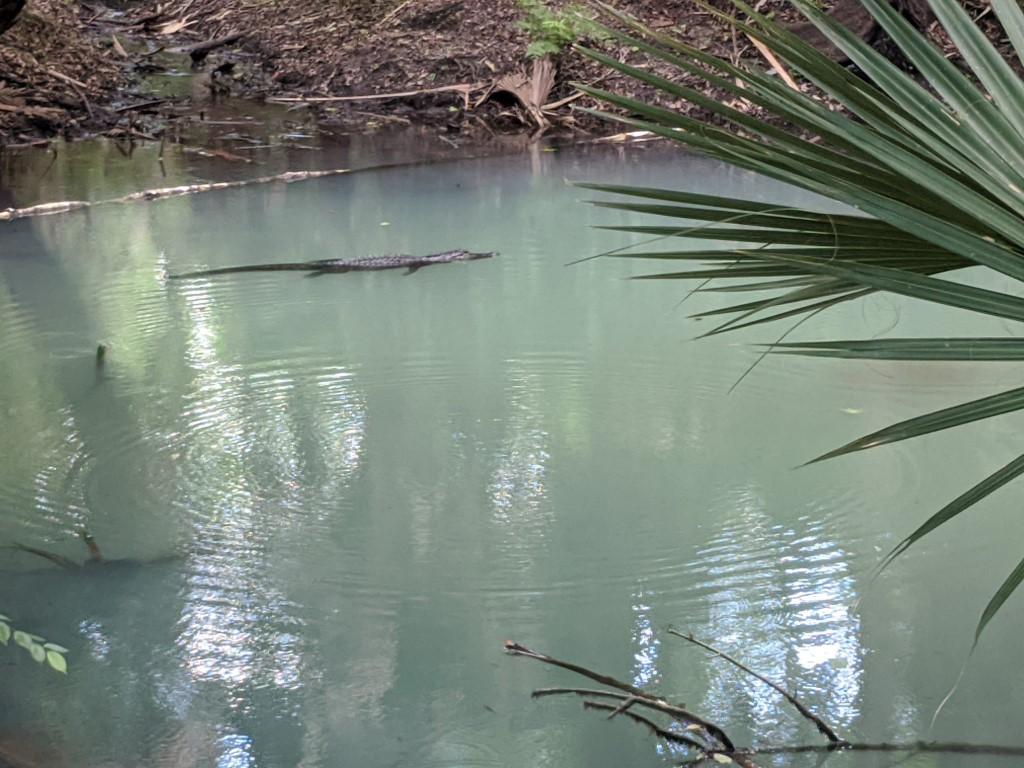 50 Hikes: #20 Spring Hammock Preserve Question Pond Alligator